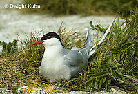 MC55-013z  Arctic Tern - on nest incubating eggs - Machias Seal Island, Bay of Fundy - Sterna paradisaea