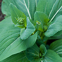 Pak choi plant about to go to flower, mid June.