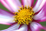 A cosmos is seen in Gardnerville, Nev., on Aug. 20, 2009..Photo by Cathleen Allison