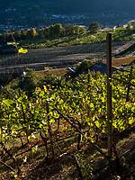 Weinbau  am Algunder Waalweg bei Meran, Region Südtirol-Bozen, Italien, Europa<br /> wine cultivation at hiking trail Algunder Waalweg,  Lagundo village near Merano, Region South Tyrol-Bolzano, Italy, Europe