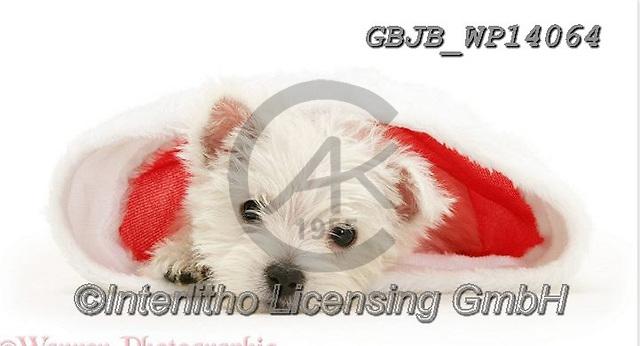 Kim, CHRISTMAS ANIMALS, WEIHNACHTEN TIERE, NAVIDAD ANIMALES, fondless, photos+++++,GBJBWP14064,#xa#