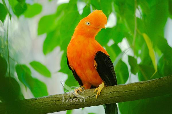 Male Cock of the Rock (Rupicola peruviana)