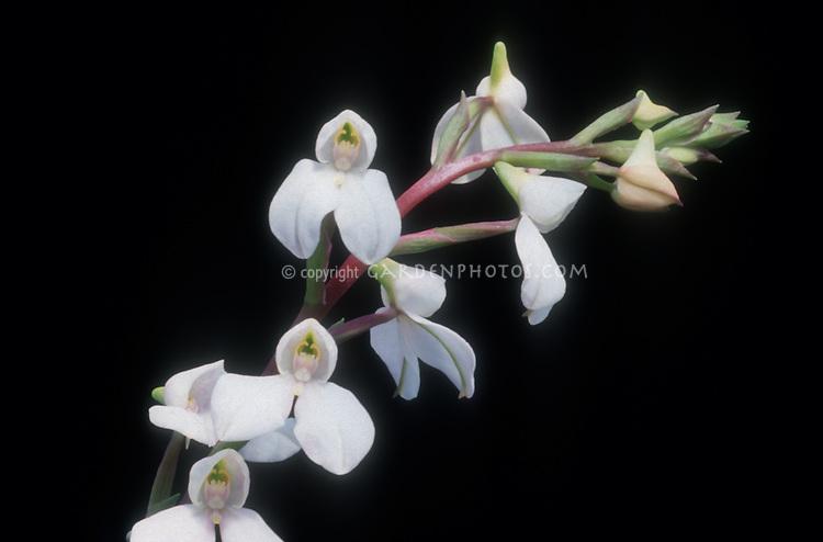 Disa tripetaloides 'Cream Kew' orchid species