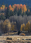 Fall colors near Hope Valley, Ca., on Friday, Oct. 17, 2014. Photo by Cathleen Allison