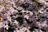 Clematis montana Elizabeth vine, pink flowers in spring