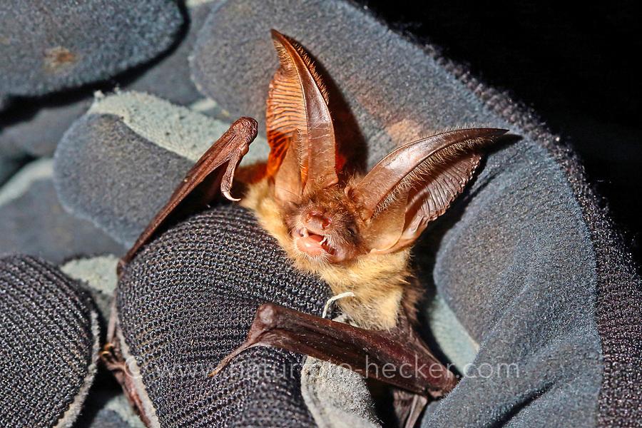 Braunes Langohr in Hand wird untersucht, Forschung, Fledermausschutz, Fledermaus-Schutz, Plecotus auritus, brown long-eared bat, common long-eared bat