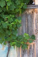 """Europe/France/Aquitaine/40/Landes/Eugénie-les-Bains:""""La Ferme aux Grives"""" ,l'auberge rurale de Michel Guérard .Détail de la vigne de la treille grimpant sur les murs des dépendances de la ferme"""