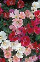 Clarkia 'Sabia' mixed colors, native American wildflower nativar annual flowers