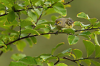 A small and secretive bird of shrubby areas of the eastern and southern United States, the White-eyed Vireo is more noticeable for its explosive song than its looks. Myrtle Tree setting.