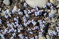 Bodensee-Vergissmeinnicht, Rehsteiners Vergissmeinnicht, Myosotis rehsteineri, Syn.: Myosotis scorpioides subsp. caespitosa, Myosotis caespitosa var. grandiflora, Lake Constance forget-me-not, Le Myosotis de Rehsteiner