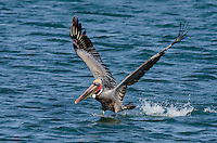 Brown Pelican (Pelecanus occidentalis) taking off.  California Coast.  Early Spring.  Adult California Brown Pelicans show a bright red throat pouch during mating season.