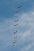 Pará State, Brazil. Xingu River. Jaburu birds in flight.