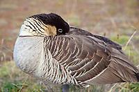 The Nene Goose (pronounced nay nay), Nesochen sandvicensis, is an endemic land bird, an endangered species, and Hawaii's state bird, Haleakala National Park, Maui, Hawaii, USA