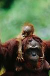 Bornean Orangutan, Borneo, Malaysia