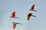 Red-and-Green Macaws or Green-winged Macaws (Ara chloropterus) (Family Psittacidae) in flight over forest canopy. Buraco das Araras (Sinkhole of the Macaws), Jardim, Mato Grosso do Sul, Brazil. September.