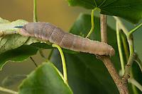 Lindenschwärmer, Raupe frisst an Linde, letztes Raupenstadium kurz vor der Verpuppung, Linden-Schwärmer, Mimas tiliae, Lime Hawk-moth, caterpillar, Le sphinx du tilleul, Schwärmer, Sphingidae, hawkmoths, hawk moths, sphinx moths