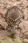 A pair of burrowing owls stare and strut towards photographer Daniel Riddle