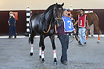 September 07, 2015. Neck 'n Neck walks in the paddock before the Greenwood Cup. Neck 'n Neck, Paco Lopez up, wins the Grade III Greenwood Cup Stakes, one and 1/2 miles, for three years olds and upward, at  Parx Racing in Bensalem, PA. Ian Wilkes trainer; Ted Mitziaff, owner. (Joan Fairman Kanes/ESW/CSM)