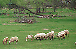 Domestic sheep in Oregon field, sheep, Ovis aries, quadrupedal, ruminant, mammals, livestock, Agriculture, fleece, lamb, mutton, shearing, pelts, milk, rams, ewes, herding dogs, seasonal breeders, lamb, Fine Art Photography by Ron Bennett, Fine Art, Fine Art photography, Art Photography, Copyright RonBennettPhotography.com ©