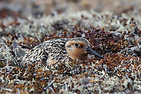 Red Knot (Calidris canutus rogersi) incubating nest on a coastal gravel spit. This subspeceis migrates to New Zealand and Australia for the winter months. Chukotka, Russia. June.