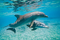 common bottlenose dolphins or Atlantic bottlenose dolphins, Tursiops truncatus, pair swimming, Cozumel, Mexico, Caribbean Sea, Atlantic Ocean