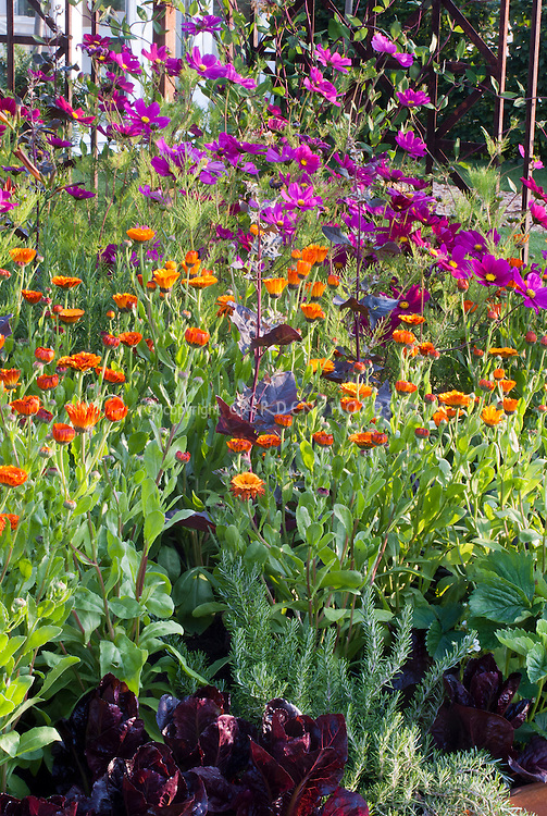 Red lettuce, calendula, rosmarinus rosemary herb, Cosmos, mixture of vegetables and flowers in garden