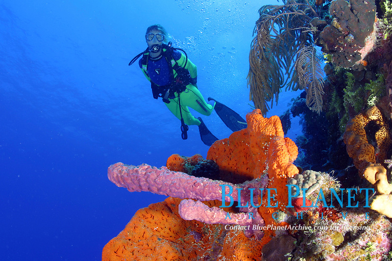 diver swims past a coral reef drop off, wall with sponges, stove pipe sponge, Aplysina archeri, and orange elephant ear sponge, Agelas clathrodes, Bahamas, Caribbean Sea, Atlantic Ocean