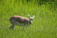 1222-1006  Goitered Gazelle Eating Grass (Black-tailed or Persian gazelle) in Grassland, Gazella subgutturosa  © David Kuhn/Dwight Kuhn Photography
