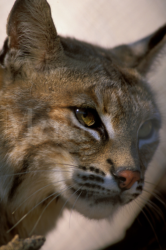 Bobcat ((Lynx rufus), female, in captivity