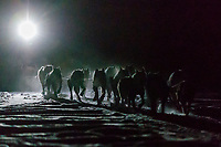Richie Diehl runs by headlamp in the early morning nearing the Finger Lake checkpoint on Monday, March 4, 2019 during the 2019 Iditarod.<br /> <br /> Photo by Jeff Schultz/  (C) 2019  ALL RIGHTS RESERVED