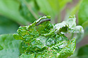 Large fruit tree tortrix moth caterpillar (Archips podana) on an apple tree, early May. For ID see http://ukmoths.org.uk/showzoom.php?id=3588