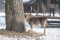 Minus 13 Grad in Leipzig und Umgebung - im Bild: Das Rotwild hier die Rothirsche trotzen den kalten Temperaturen im Leipziger Wildpark. Foto: Norman Rembarz..Norman Rembarz , ASV Autorennummer 41043728 , Holbeinstr. 14, 04229 Leipzig, Tel.: 01794887569, Hypovereinsbank: BLZ: 86020086, KN: 357889472, St.Nr.: 231/261/06432 - Jegliche kommerzielle Nutzung ist honorar- und mehrwertsteuerpflichtig! Persönlichkeitsrechte sind zu wahren. Es wird keine Haftung übernommen bei Verletzung von Rechten Dritter. Autoren-Nennung gem. §13 UrhGes. wird verlangt. Weitergabe an Dritte nur nach  vorheriger Absprache..