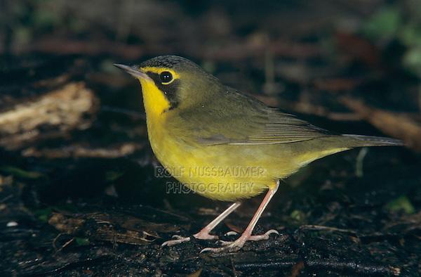 Kentucky Warbler, Oporornis formosus, male, High Island, Texas, USA, April 2001