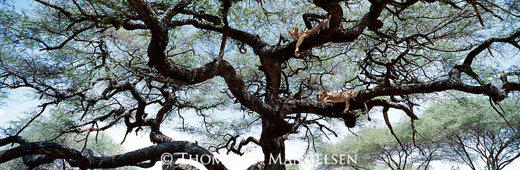 Two lions rest in an acacia tree in Lake Manyara National Park, Tanzania.