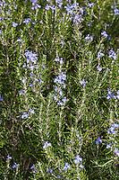 Rosmarin, Rosmarinus officinalis, Rosemary