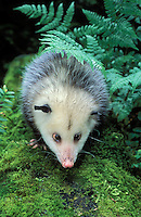 VIRGINIA OPOSSUM..Pacific Northwest, North America..Summer. (Didelphis virginiana)..