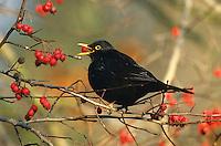 Amsel, Männchen frisst Früchte vom Weißdorn, Schwarzdrossel, Schwarz-Drossel, Drossel, Turdus merula, blackbird