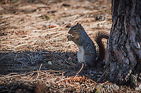 A tree squirrel eating a peanut at the base of a tree in an urban park.