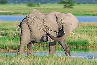 African Elephant (Loxodonta africana) cooling down at the Namutoni water hole, Etosha National Park, Namibia, Africa