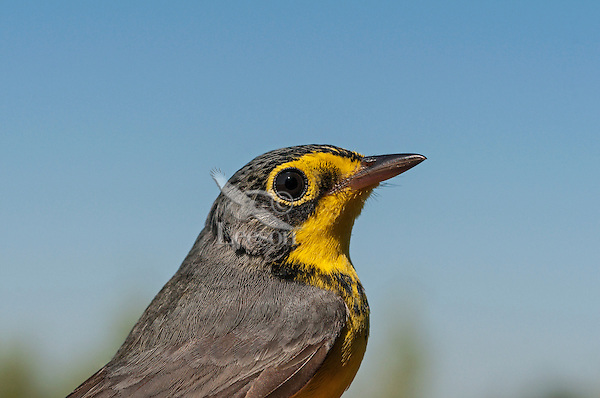 Canada Warbler (Wilsonia canadensis) male along Lake Erie shoreline during spring migration. North America.
