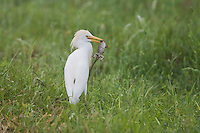 Cattle Egret (Bubulcus ibis), immature with lizard prey, Sinton, Corpus Christi, Coastal Bend, Texas, USA
