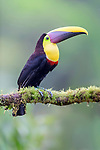 Adult yellow-throated or Black-mandibled toucan (Ramphastos ambiguus) in forest canopy. Boca Tapada, north east Costa Rica.