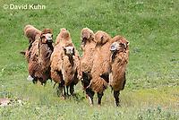 0620-1005  Three Bactrian Camels, Camelus bactrianus  © David Kuhn/Dwight Kuhn Photography