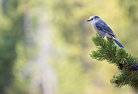 This trip afforded me some good opportunities to photograph a number of bird species either for the first time or at least better than before. Among them, the Canada Jay.