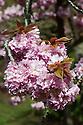 Ornamental cherry (Prunus 'Kanzan') in flower, late April.