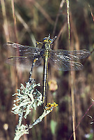 Westliche Keiljungfer, Weibchen, Gomphus pulchellus, western clubtail, female, le Gomphe gentil, Gomphidae, Flussjungfern, Flußjungfern