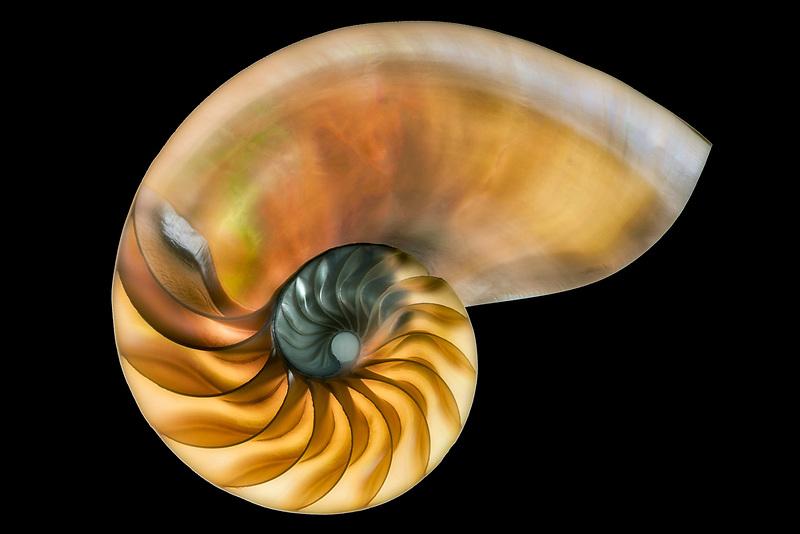 Nautilus shell close up.