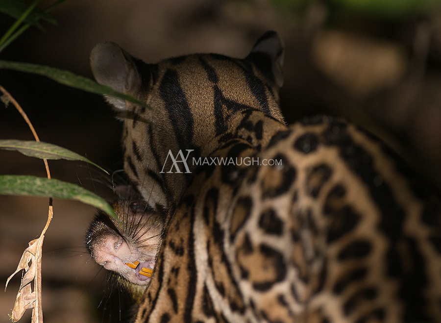 I saw two ocelots on this trip and this is the closest I got to a decent picture.  We heard the agouti cry out in the dark, and by the time we got the light on it, the ocelot was carrying it away.  The cat refused to turn toward the light.