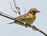 Adult northern grasshopper sparrow