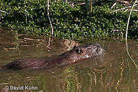 0715-0819  Swimming Nutria (syn. Coypu), Myocastor coypus © David Kuhn/Dwight Kuhn Photography